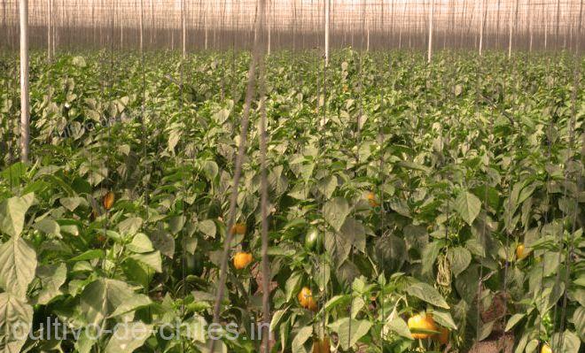 cosecha de chile pimiento