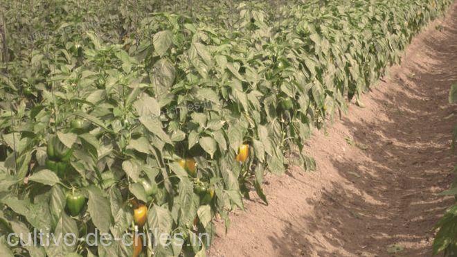 cosecha de pimientos