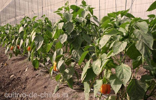 cultivo de chile morrón o choricero